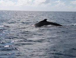 Baleines a bosses Rodrigues Association Shoals