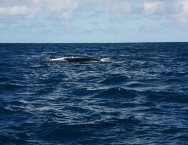 Baleines a bosses Rodrigues Association Shoals