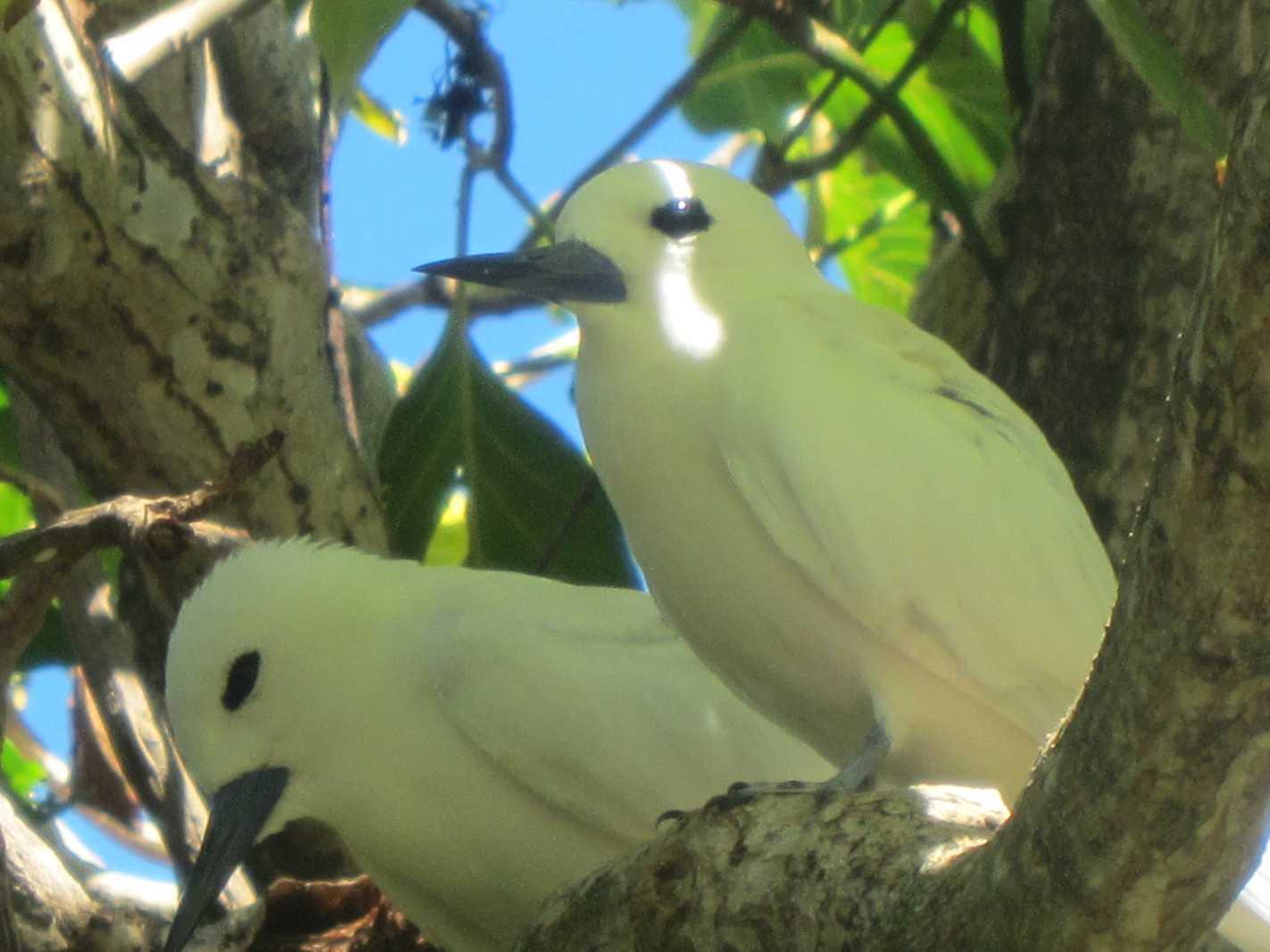 oiseaux ile aux cocos